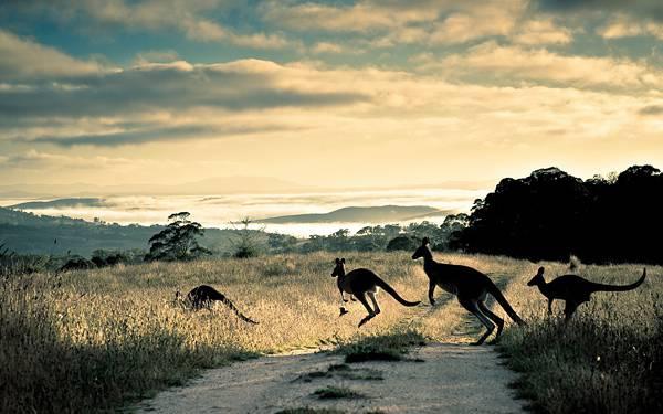 04.草むらの道を渡るカンガルー達のカッコイイ写真壁紙画像