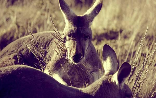 11.二匹のカンガルーをセピア色で撮影したクールな写真壁紙画像