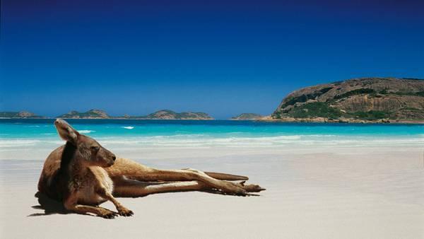 12.海辺の砂浜でくつろぐカンガルーの綺麗な写真壁紙画像