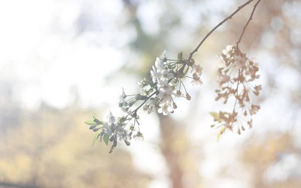 02.葉桜を柔らかいレンズフレアで撮影した綺麗な写真壁紙画像