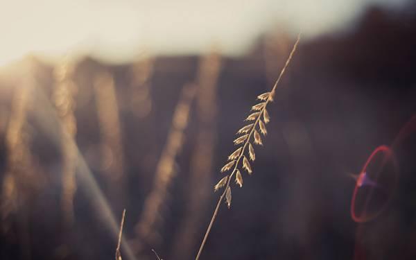 04.イネ科の植物を浅い被写界深度とレンズフレアで撮影した写真壁紙画像