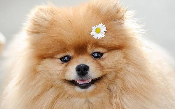 02.花をつけて笑顔のポメラニアンの綺麗な写真壁紙画像