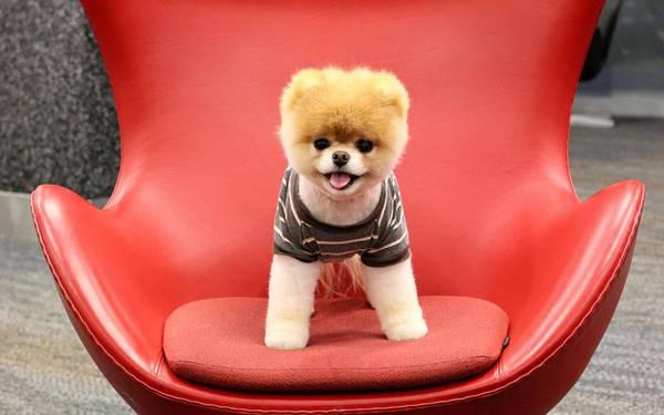 05.赤いおしゃれな椅子の上でご機嫌なポメラニアンの写真壁紙画像