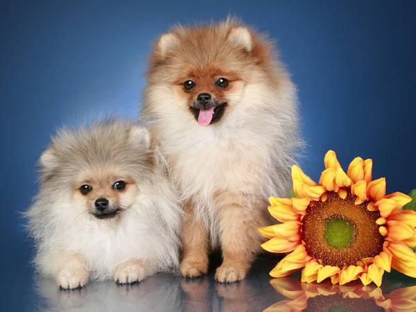 09.二匹のポメラニアンと向日葵の花の綺麗な写真壁紙画像