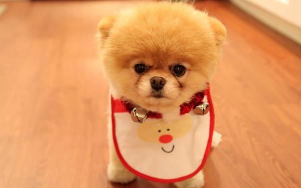 12.前掛けをしたポメラニアンの子犬の可愛い写真壁紙画像