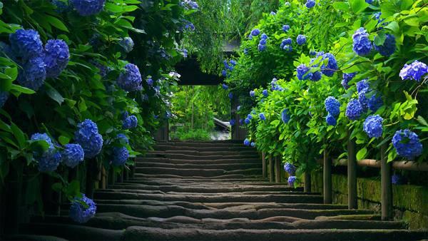 11.紫陽花の咲くお寺の石段を撮影した綺麗な写真壁紙画像