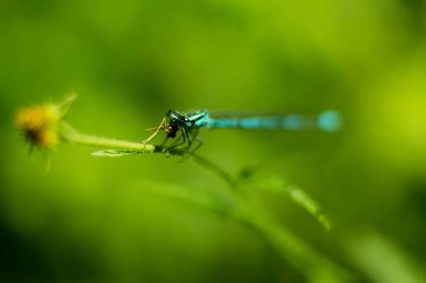 Dragonfly finishing dinner