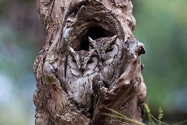 さすがは「森の賢者」!擬態するフクロウの怪しくも美しい写真 - 02