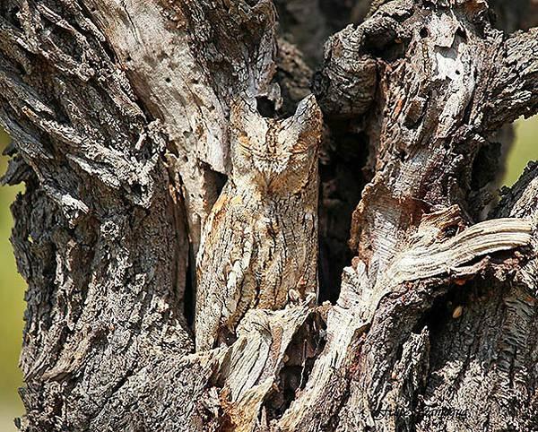 さすがは「森の賢者」!擬態するフクロウの怪しくも美しい写真 - 03