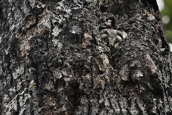 さすがは「森の賢者」!擬態するフクロウの怪しくも美しい写真 - 05