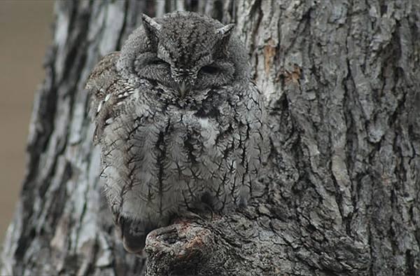さすがは「森の賢者」!擬態するフクロウの怪しくも美しい写真 - 06