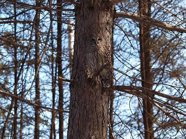 さすがは「森の賢者」!擬態するフクロウの怪しくも美しい写真 - 07