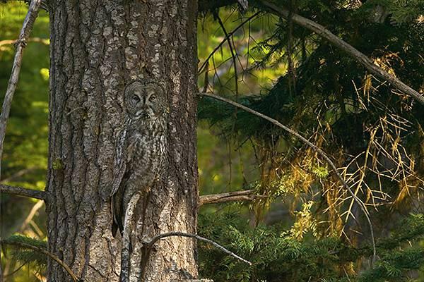 さすがは「森の賢者」!擬態するフクロウの怪しくも美しい写真 - 08