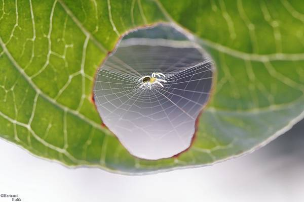 葉っぱに空いた穴に巣を作るクモが激写される。 - 02