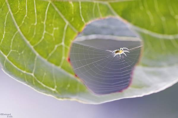 葉っぱに空いた穴に巣を作るクモが激写される。 - 03