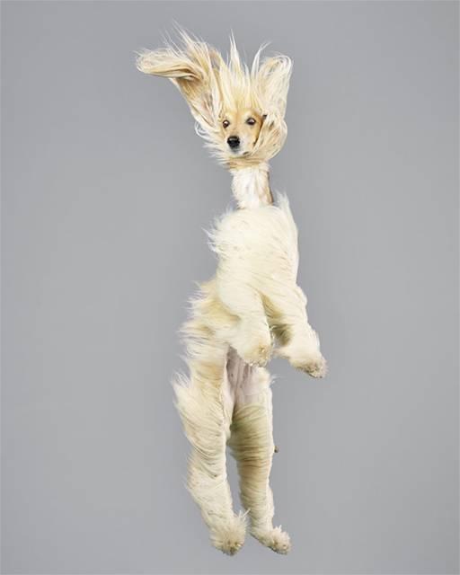 強風の中でジャンプする犬の可愛い写真シリーズ - 01