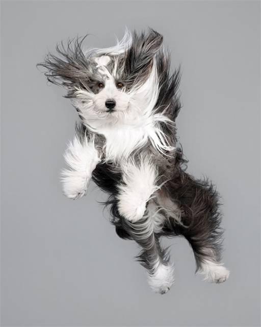 強風の中でジャンプする犬の可愛い写真シリーズ - 02