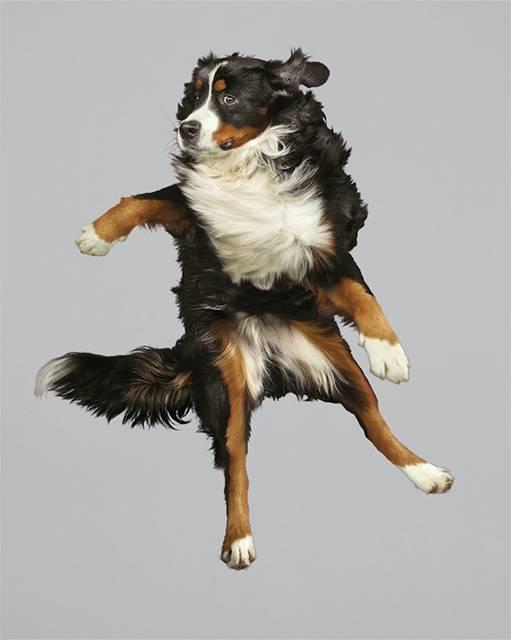 強風の中でジャンプする犬の可愛い写真シリーズ - 04