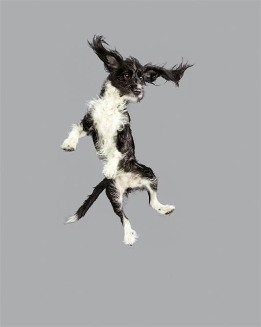 強風の中でジャンプする犬の可愛い写真シリーズ - 06