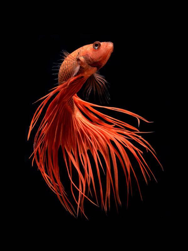 着物姿で踊っているかのような熱帯魚ベタの美しい写真集 - 01