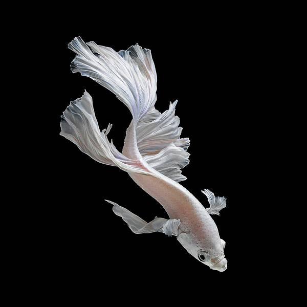 着物姿で踊っているかのような熱帯魚ベタの美しい写真集 - 02