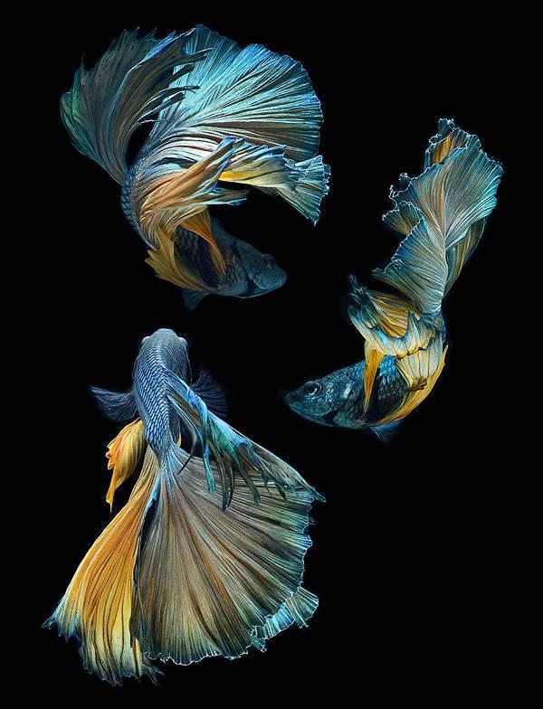 着物姿で踊っているかのような熱帯魚ベタの美しい写真集 - 03