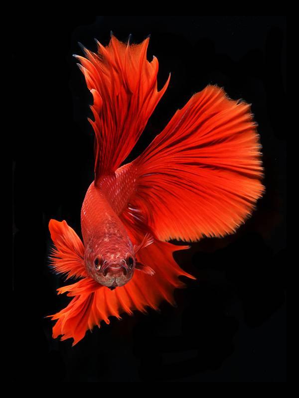 着物姿で踊っているかのような熱帯魚ベタの美しい写真集 - 04