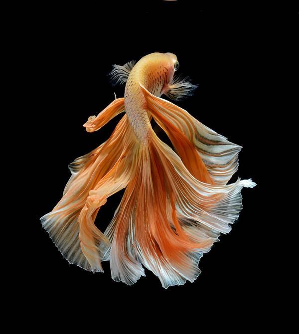 着物姿で踊っているかのような熱帯魚ベタの美しい写真集 - 06