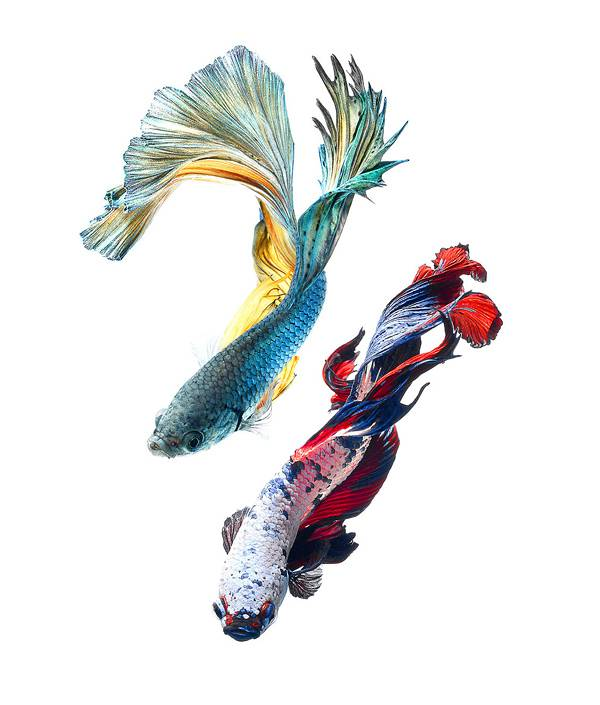 着物姿で踊っているかのような熱帯魚ベタの美しい写真集 - 07