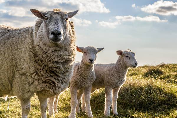 gloomy sheeps