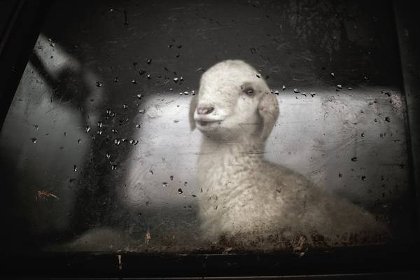 Little Sheep Behind Car Glass