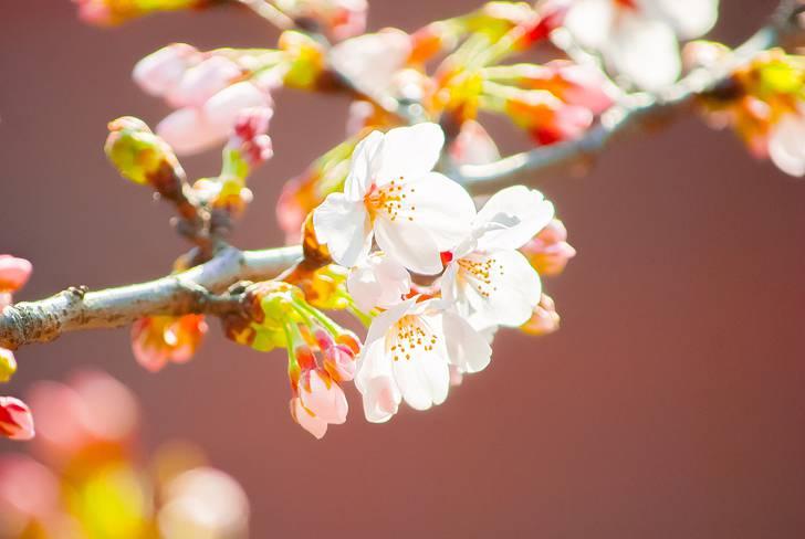 桜のフリー写真素材