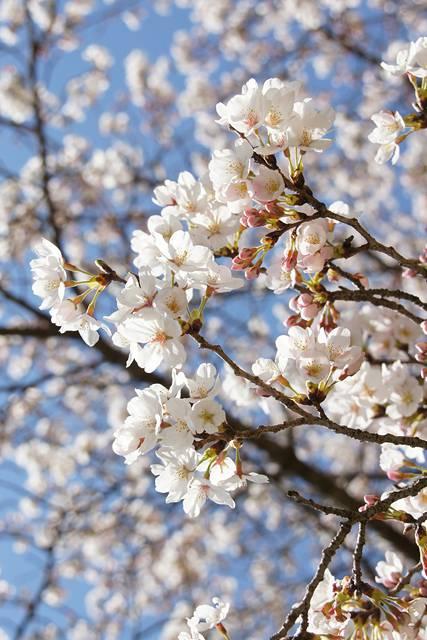 明日香村・石舞台の桜34