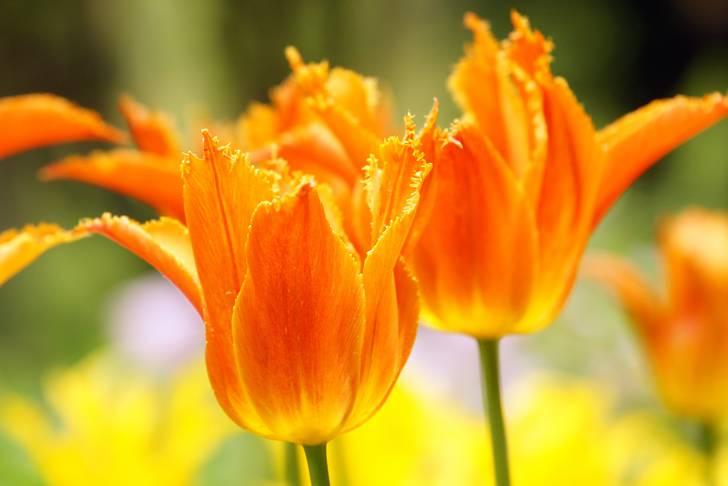 チューリップの花 オレンジ2