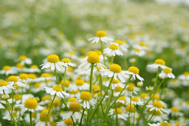 ジャーマンカモミールの花畑1