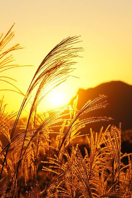 夕焼けと金色のススキ3