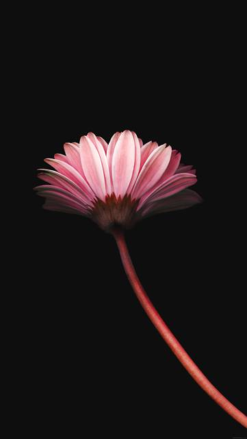 mk70-lonely-flower-dark-red-simple-minimal-nature