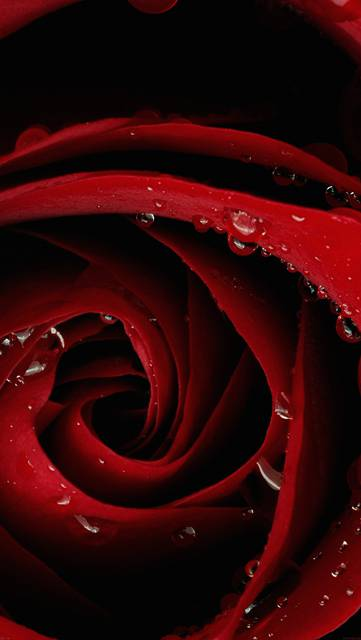 mh81-beautiful-red-rose-flower-nature