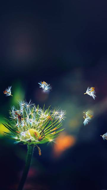 mc82-wallpaper-blowing-dandelion-flower