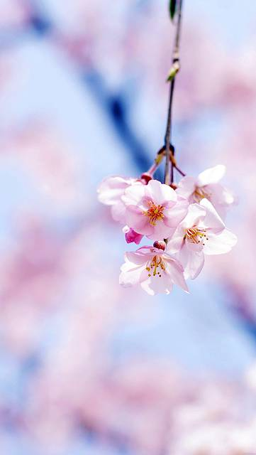 mc89-wallpaper-cherry-blossom-by-gongsateam-flower