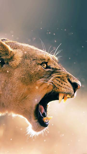 ma41-angry-lion-one-animal-nature