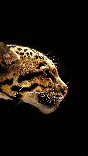 mb77-wallpaper-wild-cat-b-animal