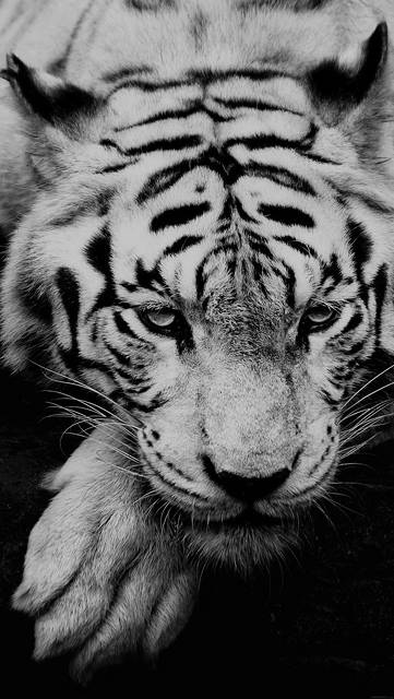 ml57-bw-dark-tiger-animal