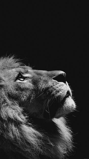 mj50-lion-looking-sky-animal-nature-dark-photo