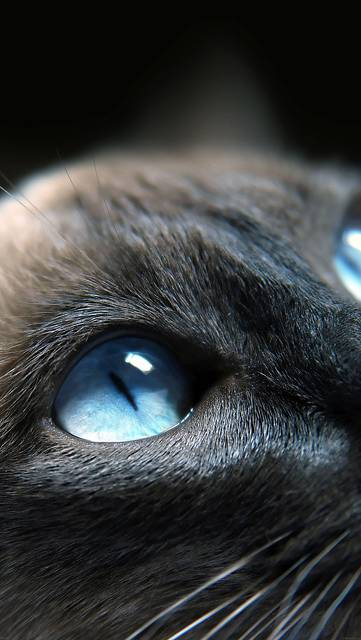 me19-cats-blue-eye-cute