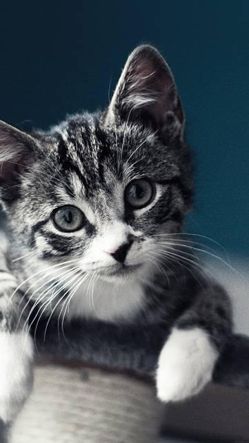 首をかしげて見つめる子猫