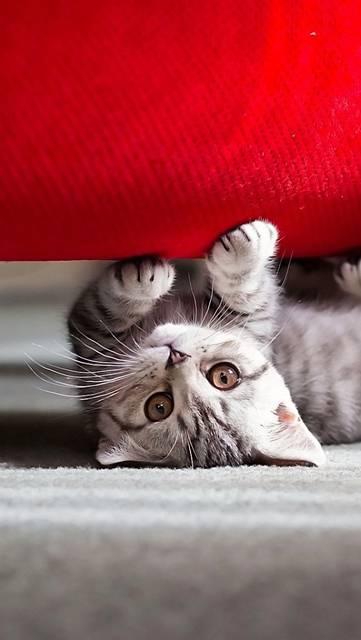 赤いソファーで爪とぎする子猫