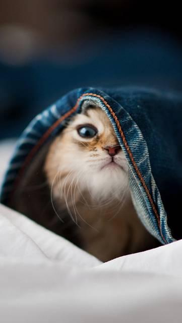 ジーンズの中に入った子猫の画像