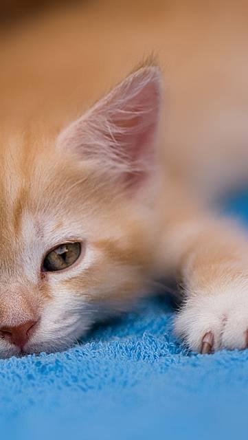 伏せたポーズのかわいい子猫