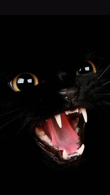 威嚇する黒猫のアップの写真